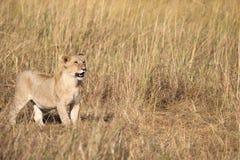 Полный портрет тела милого льва, пантеры leo, новичка в высокорослой траве стоковые изображения rf