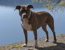 Полный портрет тела Brindle собаки питбуля штата до полудня стоковое изображение