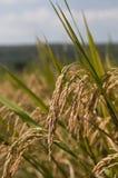 полный рис зерен Стоковые Фотографии RF
