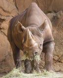 Полный рот черноты носорога стоковое фото rf