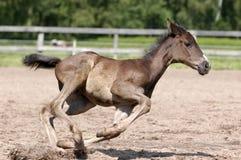 полный gallop Стоковое Изображение RF