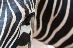 половинная зебра Стоковая Фотография RF