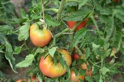 Половинные зрелые томаты Стоковое Фото