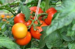 Половинные зрелые томаты Стоковые Фотографии RF