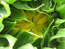 половинный открытый солнцецвет Стоковое Изображение RF