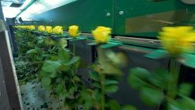 Половинный пустой грейдер цветка держит желтые розы видеоматериал
