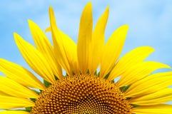 половинный солнцецвет Стоковые Изображения RF