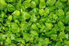 Положение взгляда сверху плоское текстуры листьев зеленого цвета бетэла волынщика бетэла стоковые изображения rf