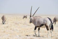 Положение в красочном ландшафте величественного национального парка Etosha, самое лучшее назначение сернобыка перемещения в Намиб стоковое изображение rf