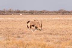 Положение в красочном ландшафте величественного национального парка Etosha, самое лучшее назначение сернобыка перемещения в Намиб стоковые фото