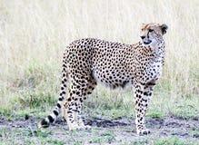 положение гепарда Стоковая Фотография