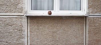 Положение голубя перед окном стоковые изображения rf