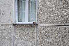 Положение голубя перед окном стоковое изображение rf