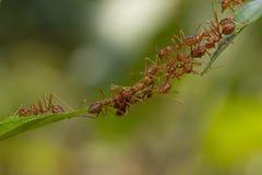 Положение действия муравья Команда единства моста муравья, toge работы команды концепции стоковые изображения rf
