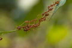 Положение действия муравья Команда единства моста муравья, toge работы команды концепции стоковые изображения