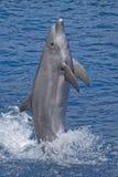 положение дельфина Стоковая Фотография