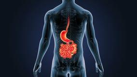 Положение живота, тонкой кишки и скелета в человеческом теле иллюстрация штока