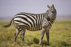 Положение зебры Стоковая Фотография