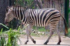 Положение зебры Стоковые Изображения
