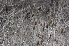Положение зимы ворсянки или Dipsacus Teazle Стоковые Изображения RF