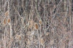 Положение зимы ворсянки или Dipsacus Teazle Стоковое Изображение RF