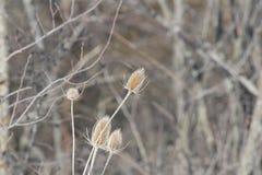 Положение зимы ворсянки или Dipsacus Teazle Стоковое Фото