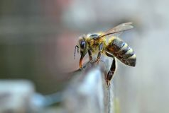Положение и питьевая вода пчелы стоковые фото