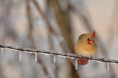 положение Каролины птицы северное Стоковая Фотография RF
