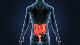 Положение кишечника и скелета в человеческом теле иллюстрация штока
