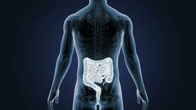 Положение кишечника с скелетом в человеческом теле бесплатная иллюстрация