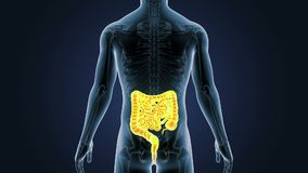 Положение кишечника с скелетом в человеческом теле иллюстрация штока