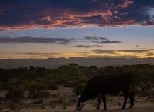 Положение коровы на краю пути стоковые изображения rf