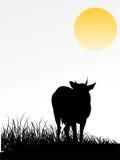положение коровы Стоковые Фотографии RF