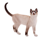 положение кота милое сиамское Стоковая Фотография