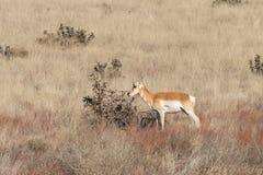 Положение лани антилопы Pronghorn Стоковое Фото