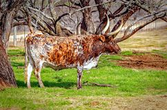 Положение лонгхорна Техаса перед деревьями стоковое фото