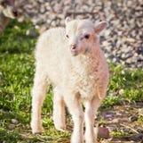 положение овечки Стоковые Изображения RF