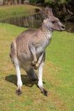 положение озера кенгуруа мыжское близкое Стоковые Изображения RF