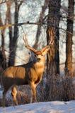 положение осляка оленей самеца оленя солитарное Стоковые Изображения