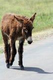 положение парка custer burro Стоковые Изображения