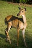 положение поля самеца оленя травянистое Стоковые Фото