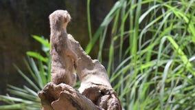 Положение промежутка времени Meerkats на утесе и смотреть вокруг Meerkat наблюдающ, что положение посмотрело вокруг сток-видео