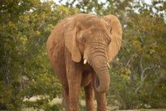 положение слона стоковое изображение