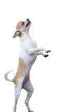 положение собаки чихуахуа Стоковые Фото