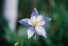 положение цветка colorado Стоковые Фотографии RF