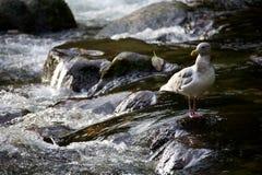 положение чайки rapids Стоковое Фото