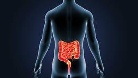 Положение человеческого тела кишечника иллюстрация вектора