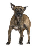 положение 16 месяцев собаки breed смешанных старое Стоковое Изображение