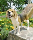 положение beagle стоковые фото
