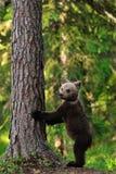 Положение Cub медведя Brown Стоковые Изображения RF